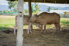 Albinos Tajlandzki Buffallo i łydka Obraz Royalty Free