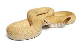 Albinos western diamondback rattlesnake Stock Images