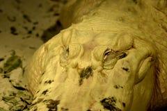 Albinosa aligator zdjęcia stock