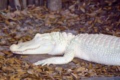 Albinosa aligator Obraz Royalty Free