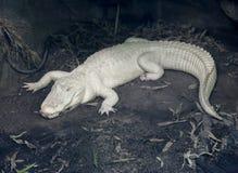 albinosa aligator Zdjęcie Stock