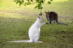 Albinosa Barrats Wallaby obraz royalty free
