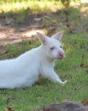 Albinosa Bennett s Wallaby obrazy stock