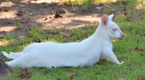Albinosa Bennett s Wallaby obrazy royalty free
