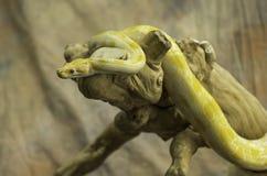 Albinosa birmańczyka pyton Zdjęcia Stock