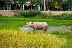 Albinosa bizon w ryżowym polu Zdjęcie Royalty Free