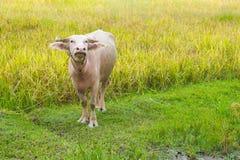 Albinosa bizon w ryżowym polu Fotografia Royalty Free