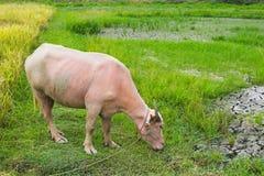 Albinosa bizon w ryżowym polu Obraz Royalty Free