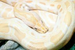 Albinosa burmese pyton Zdjęcie Stock