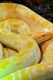 Albinosa burmese pyton Zdjęcia Stock