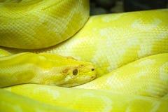 Albinosa burmese pyton Obrazy Royalty Free