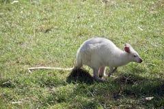 Albinosa czerwony necked wallaby przeglądać od strony zdjęcia stock