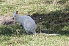 Albinosa czerwony necked wallaby zdjęcia stock