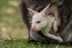 Albinosa dziecka Bennett wallaby obrazy royalty free