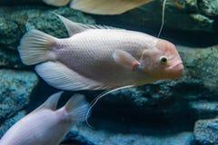 Albinosa gigantyczny gourami w intymnym akwarium Obrazy Stock