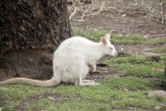 Albinosa joey i wallaby obraz stock