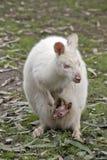 Albinosa joey i wallaby obrazy stock