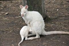 Albinosa joey wallaby zdjęcie royalty free