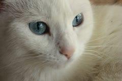 Albinosa kot Zdjęcia Stock