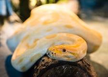 Albinosa pytonu burmese czołganie na beli Zdjęcie Royalty Free