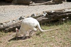Albinosa rednecked wallaby przeglądać od strony obrazy stock