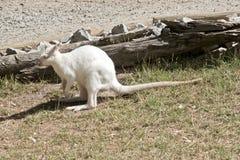 Albinosa rednecked wallaby przeglądać od strony fotografia royalty free