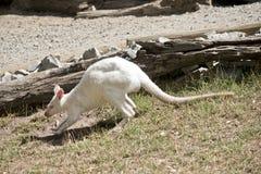 Albinosa rednecked wallaby przeglądać od strony obrazy royalty free