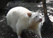 Albinosa szop pracz Wtyka Jego Małego Różowego jęzor Out Obrazy Stock