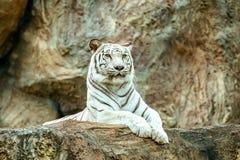 Albinosa tygrysi sen na skale w zoo obrazy stock