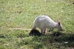 Albinosa wallaby łasowania czerwona necked trawa zdjęcia stock