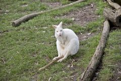Albinosa Wallaby obrazy royalty free