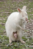 Albinosa Wallaby zdjęcia stock