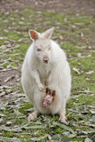 Albinosa Wallaby fotografia stock