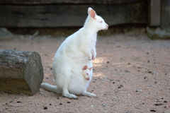 Albinosa wallaby Macropus Necked rufugriseus obrazy stock