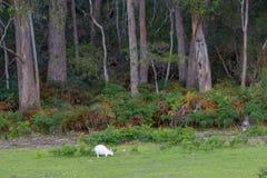 Albinosa wallaby pasanie na paśniku przed lasem zdjęcia royalty free