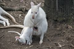 Albinosa wallaby z joey obrazy stock