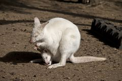 Albinosa wallaby z joey obrazy stock