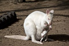 Albinosa wallaby z joey fotografia royalty free