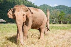 albinoselefant Royaltyfria Bilder