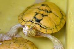 Albinosköldpadda Arkivbilder