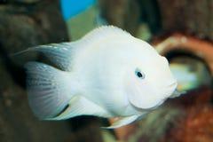 AlbinostraffångeCichlid i akvarium fotografering för bildbyråer