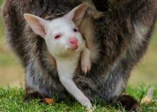 Albinot behandla som ett barn bennetts vallaby Fotografering för Bildbyråer