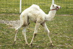 Albinot som kamlet behandla som ett barn, går i gräs Arkivfoto