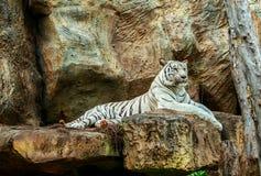 Albinotigerschlaf auf Felsen im Zoo stockfotos