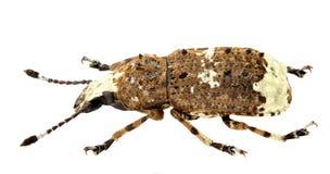 Albinus de Platystomos fotografia de stock