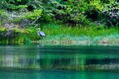 Albion河伟大蓝色的苍鹭的巢 库存图片