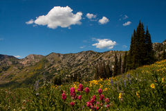 Albion Basin. Image of Albion Basin in Utah with the wildflowers in bloom royalty free stock image