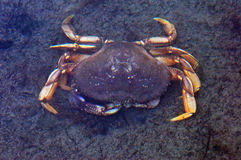 Albion River Crab Royalty Free Stock Photography