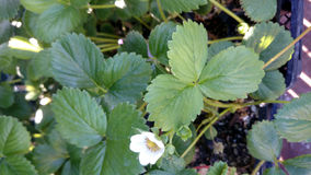Albion strawberry, Fragaria ananassa 'Albion' Stock Photo