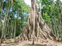 Albipila do ficus, árvore gigante em Uthaithani, Tailândia fotos de stock